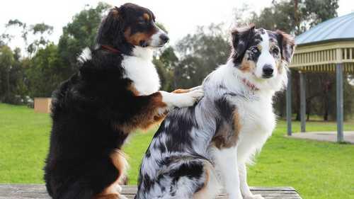 Como fazer perfume – colonia para cachorro